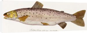 A Salmon. From 'Icones Piscium Austriae Indogenorum', 1785 by Baron Carl Von Meidinger
