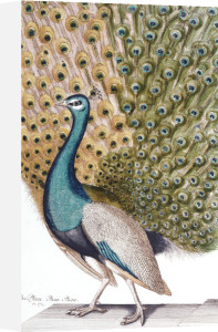 A Male Peacock In Full Display, 1763 by Johann Leonhard Frisch