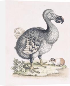 The Dodo by Frederick P. Nodder