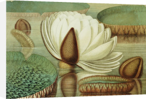 Victoria Regia Or The Great Water Lily Of America (Opening Flower), 1854 by William Sharp