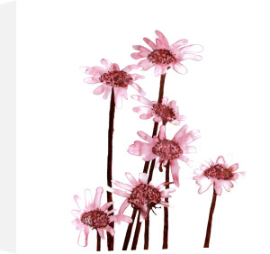 Sepia Daisies by Louise Cunningham