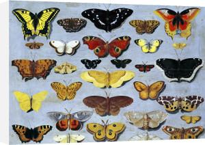 Butterflies by Flemish School