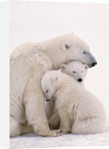 Polar Bear Family by Maxi