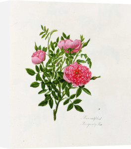 Rosa Parvifolia or the Burgundy Rose by Mary Lawrance