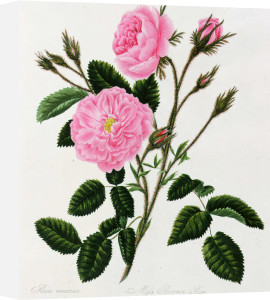 Rosa Centifolia Muscosa or the Moss Rose by Mary Lawrance