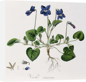 Viola by William Curtis