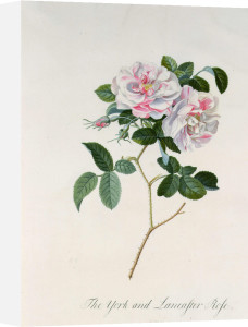 Rosa damascena versicolor or the York and Lancaster Rose by Georg Dionysus Ehret