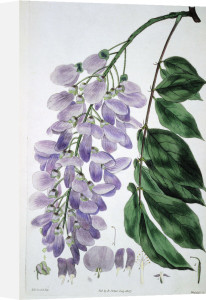 Wisteria Sinensis, from The British Flower Garden, 1827 by Robert Sweet