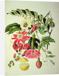 Passionflower, from The Natural Order of Plants by Elizabeth Twining
