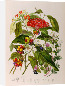 Rubiaceae or the madder tribe by Elizabeth Twining