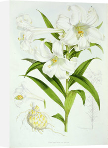 Lilium longiflorum, from Monograph of Genus Lilium by Walter Hood Fitch