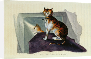Domestic cat by Edward Donovan