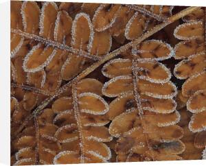 Brachen fern section with frost by Danita Delimont