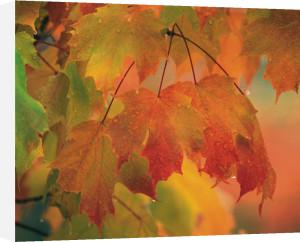 Maple leaves in rain by Danita Delimont