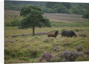 Wild Horses New forest England by Assaf Frank