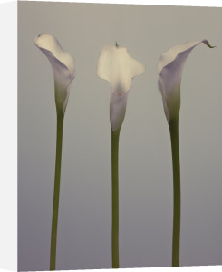 Three Calla Lily flowers by Assaf Frank