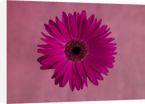 Close-up of pink Gerbera daisy by Assaf Frank