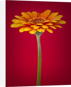 Gerbera flower close-up by Assaf Frank