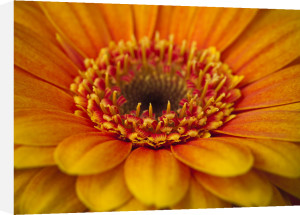 Gerbera flower extreme close-up full frame by Assaf Frank