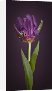 Rococo tulip, side view by Assaf Frank