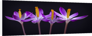 Four Crocus flowers close-up by Assaf Frank