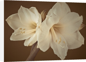 Close-up of White Amaryllis by Assaf Frank