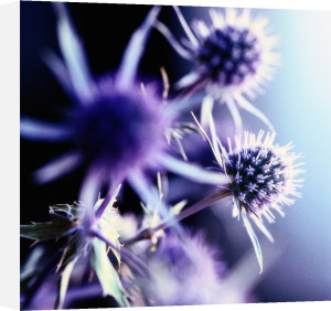 Lavender Thistle I by Erin Rafferty