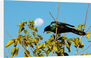 Southern Lesser Blue-Eared Starling (Lamprotornis elisabeth), Okavango Delta, Botswana by Sergio Pitamitz
