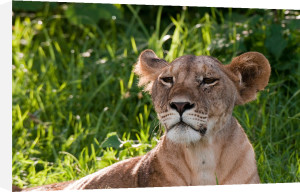 Lioness (Panthera leo), Samburu National Park, Kenya by Sergio Pitamitz
