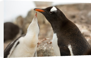 Gentoo Penguins, British base, Port Lockroy, Antarctica by Sergio Pitamitz