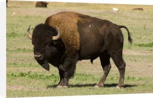 Bison, Custer State Park, Black Hills, South Dakota, USA by Sergio Pitamitz