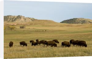 Bison Herd Custer State Park, Black Hills, South Dakota, USA by Sergio Pitamitz