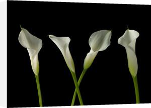 Calla Lilies 3 by Assaf Frank