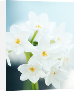 Narcissus 'Paperwhite' by Sabina Ruber