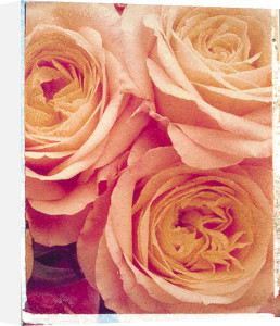 Roses Close Up by Deborah Schenck
