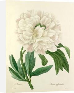 Pivoine : Paeonia officinalis by Pierre Joseph Celestin Redouté