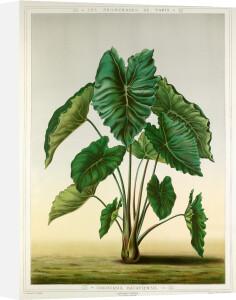 Colocasia bataviensis by G. Severeyns