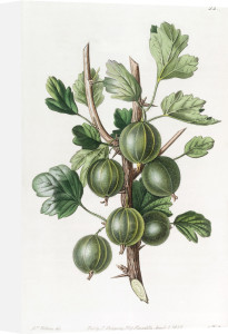 The Early Green Hairy Gooseberry by S. Watts