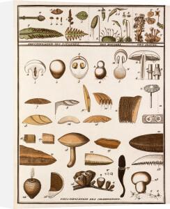 Plate VI by Jean Baptiste Francois Bulliard