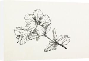 Rhododendron moupinense by Graham Stuart Thomas
