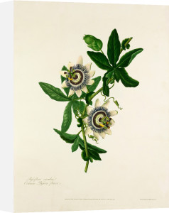 Passiflora caerulea by Mary Lawrance