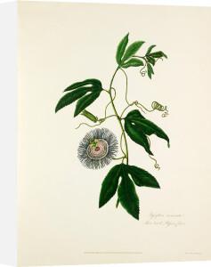 Passiflora incarnata. Three-leav'd Passion Flower by Mary Lawrance
