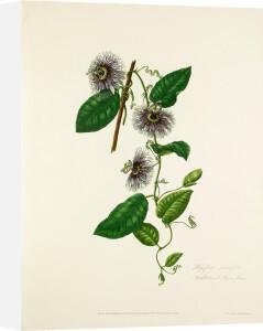 Passiflora serratifolia by Mary Lawrance