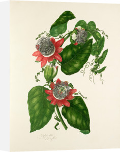 Passiflora alata by Mary Lawrance