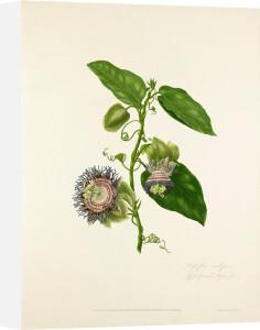 Passiflora maliformis by Mary Lawrance