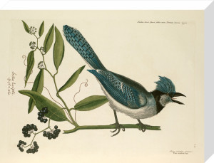 T. 15 by Mark Catesby