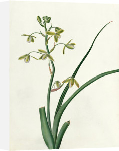Albuca altissima by Emma Smith