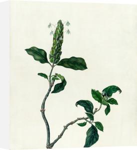 Aphelandra sp. by Emma Smith