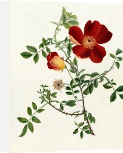 Rosa foetida 'Bicolor' by Emma Smith