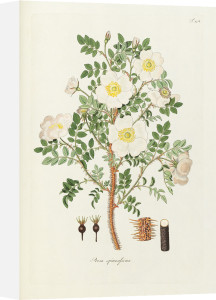 T124. Rosa spinosissima by George Cooke